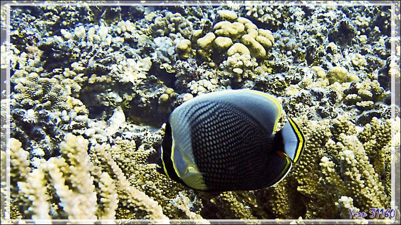 Poisson-papillon réticulé ou à mailles, Mailed or Reticulated or Black butterflyfish (Chaetodon reticulatus) - Tumakohua (passe sud) - Atoll de Fakarava - Tuamotu - Polynésie française