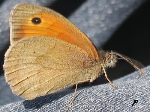 Myrtil (Maniolia jurtina)