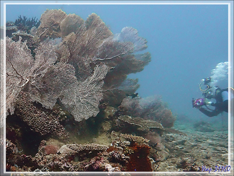 Gorgone géante, Giant seafan (Annella mollis) - Les Tétons - Tsarabanjina - Mitsio - Madagascar