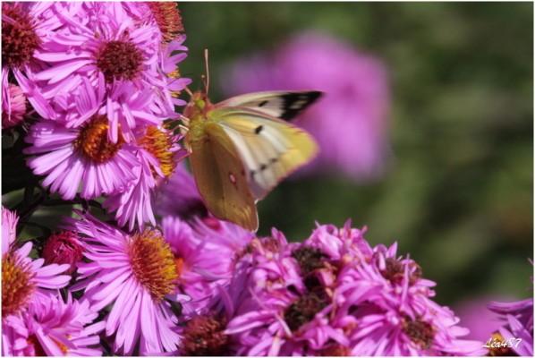 Papillons-2-3121-souci.jpg