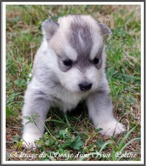 Chiot Husky Femelle 3 (19j)