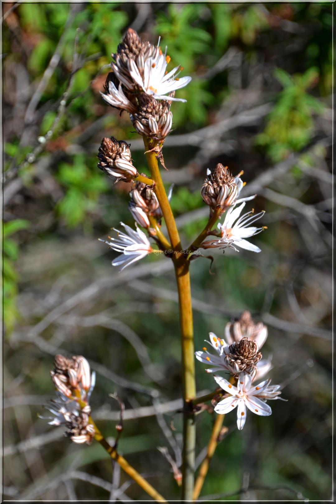 Les premières asphodèles en fleurs 23-02-2014
