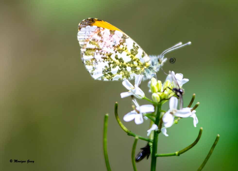 Papillon Aurore
