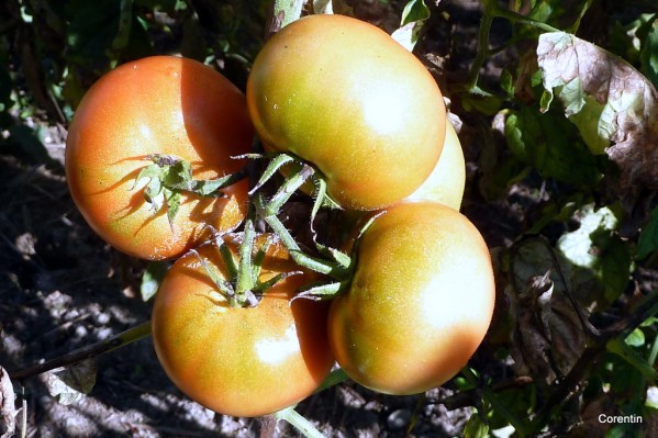 I04---Tomates-mures.JPG