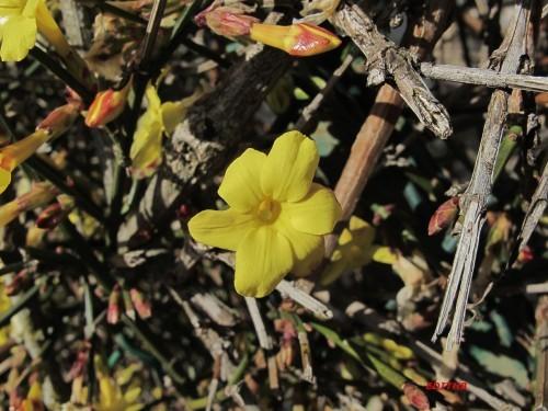 photos d 39 un jasmin d 39 hiver fleurs jaunes et bourgeons. Black Bedroom Furniture Sets. Home Design Ideas