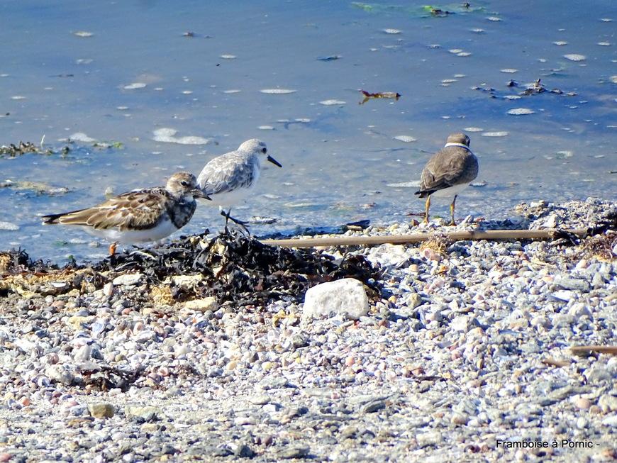 Oiseaux de la Tara - La Plaine sur mer - 44 -