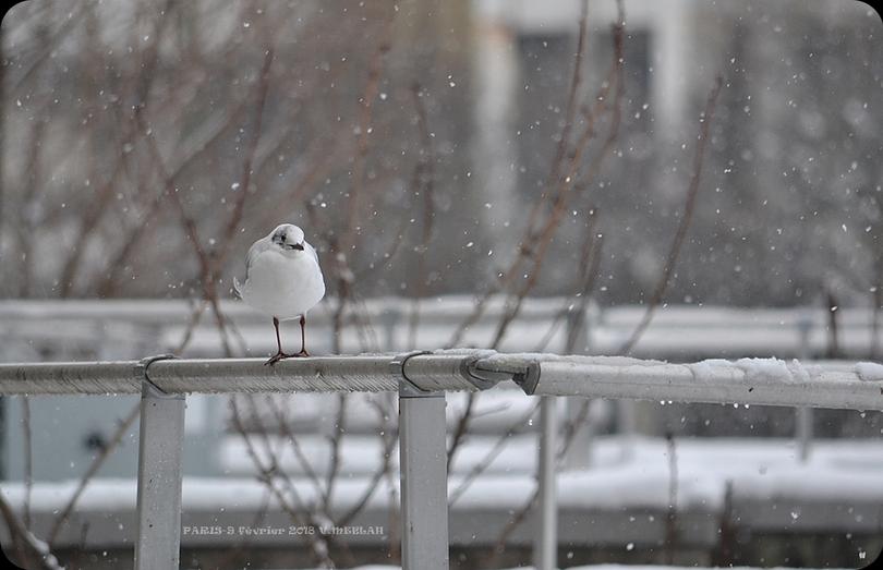 Paris : Mouette rieuse sous la neige