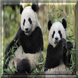 http://ekladata.com/EspvH532bingW5iPF6D4SicmJmk/panda.jpg