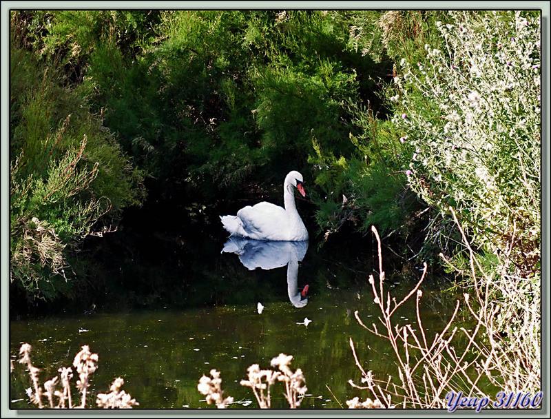 Cygne tuberculé (Mute Swan) dans son écrin de verdure - La Couarde-sur-Mer - Ile de Ré - 17