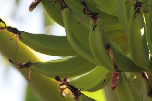 Banane Poto