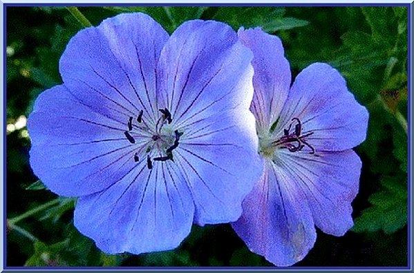 fleur-bleue.jpg