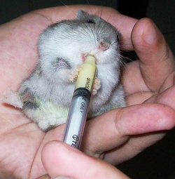 traitement hamster seringue médicament