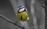 Mésange bleue - p 159