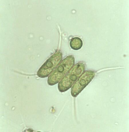 Cette algue est capable de produire un carburant propre