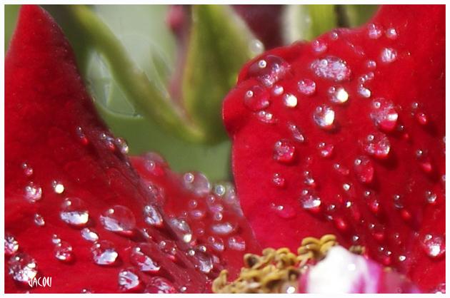 - Roses après la pluie