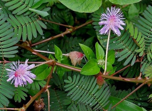 Mimosa pudica W2 IMG 2374