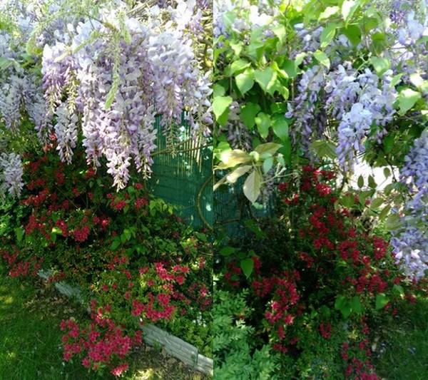 Au coeur de mon jardin 20 - Ma glycine