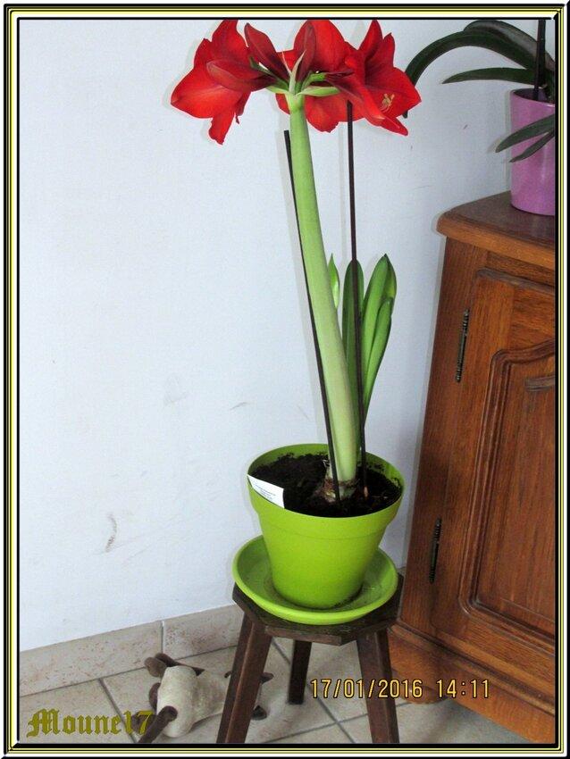 Naissane d'une fleur d'amaryllis