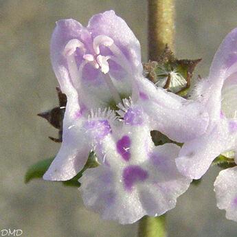 Calamintha nepeta - Clinopodium nepeta  -petit calament