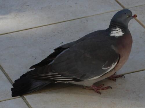 Le pigeon ramoneur