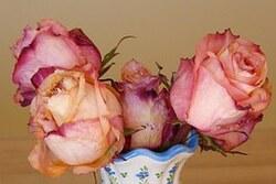 """Rose """"vieux rose""""."""