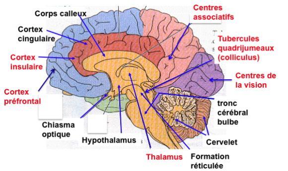 http://lancien.cowblog.fr/images/Cerveau1/cerveauoptique.jpg