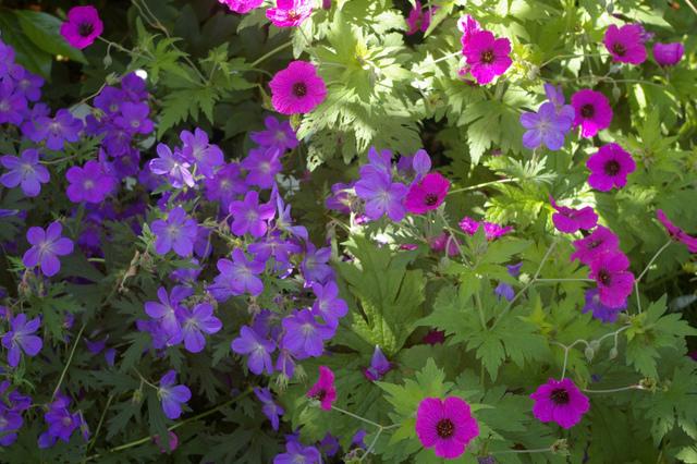 Plante vivace 003 jardinnature - Pourpier vivace en jardiniere ...