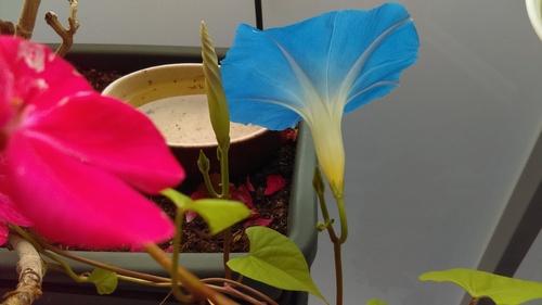 Je suis contente ! L'ipomée de Funchal fleurit