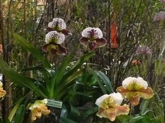 2013-Expo orchid Pont sainte Marie 003