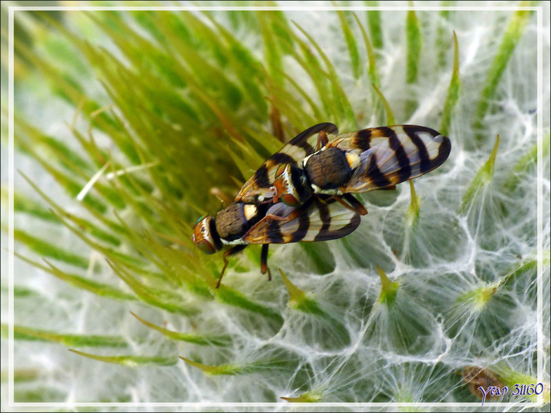 Mouche Tephritide in copula (Urophora sp, probable congrua) sur Cirse laineux - Artiga de Lin - Es Bordes - Val d'Aran - Espagne