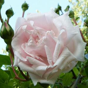 Rosae, rosae, rosas...