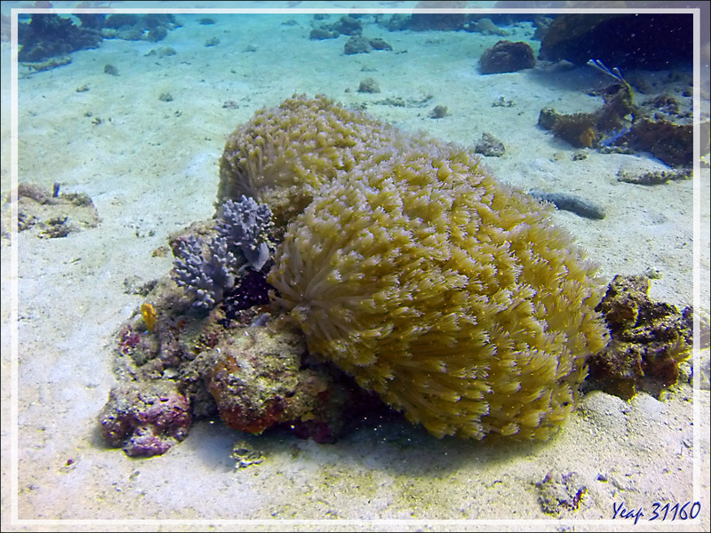 Corail mou : Anémone-corail (Goniopore ?) - Spot Les 2 Sœurs - Tsarabanjina - Archipel Mitsio - Madagascar