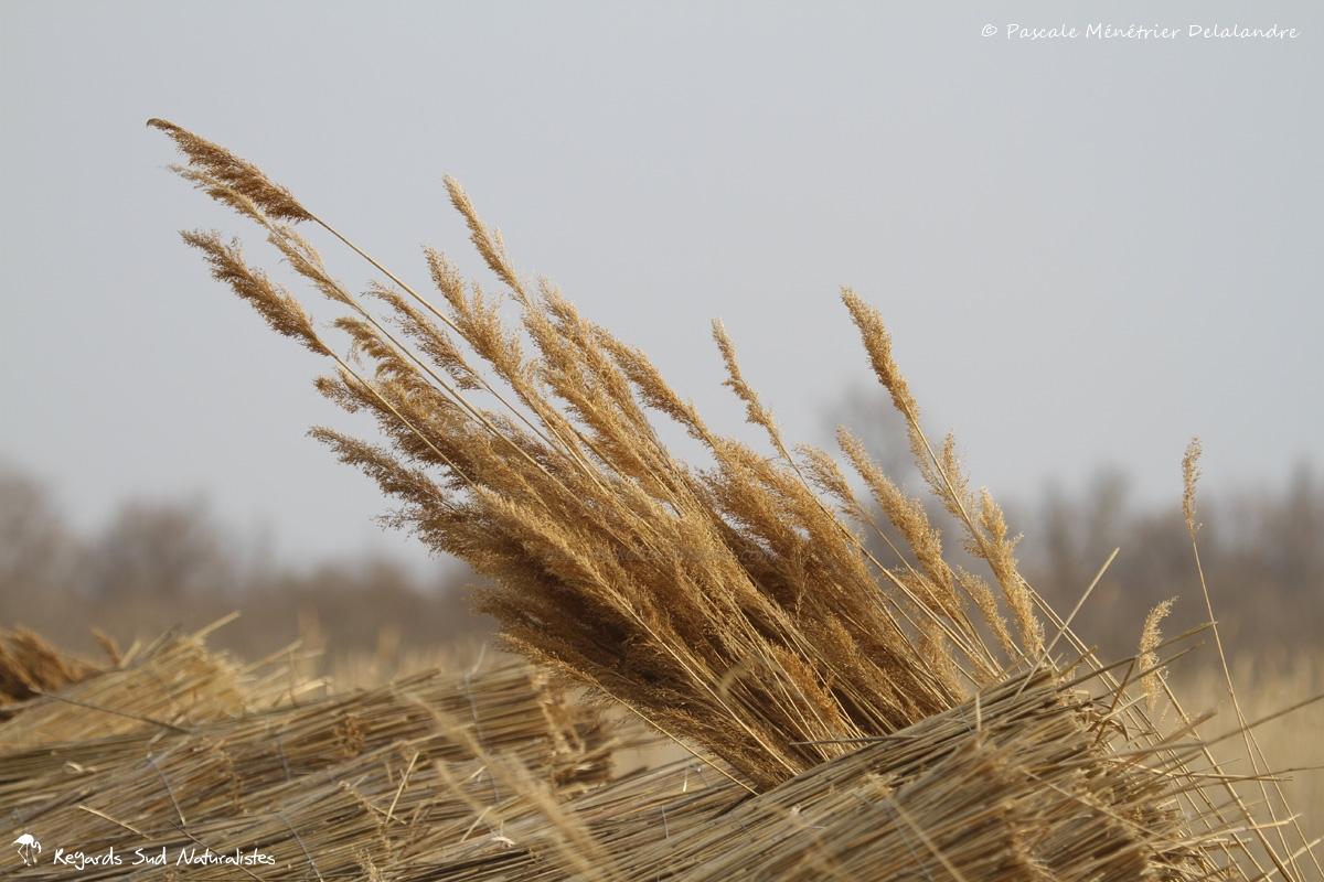 Récolte des Joncs en Petite Camargue