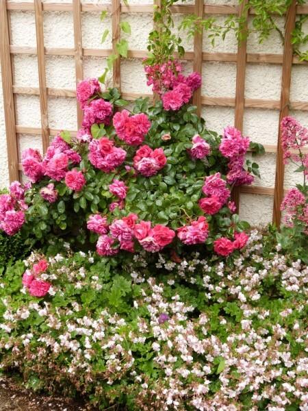 massif-des-treillages---rosier-sangria-et-geranium-cantabr.jpg