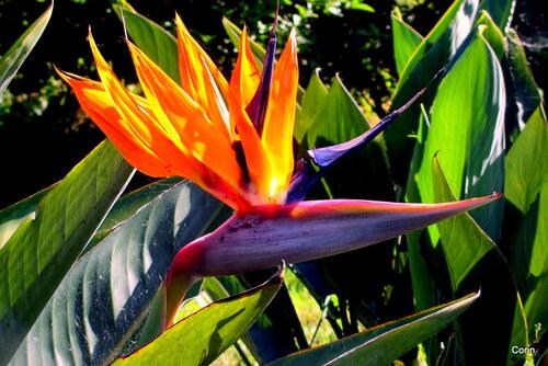 Une fleur : l'oiseau du paradis :