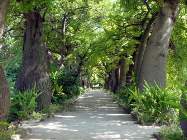 Jardin botanique de Palerme, Allée des Chorisia insignis