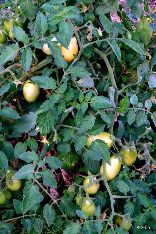 Aubergines et tomates ...
