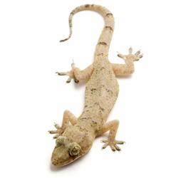 Une Salamandre sur votre Mur