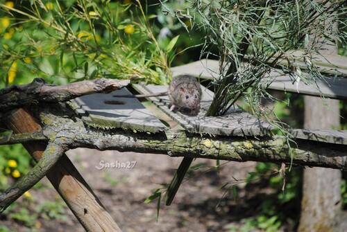 L'invasion des rats dans les zoos...