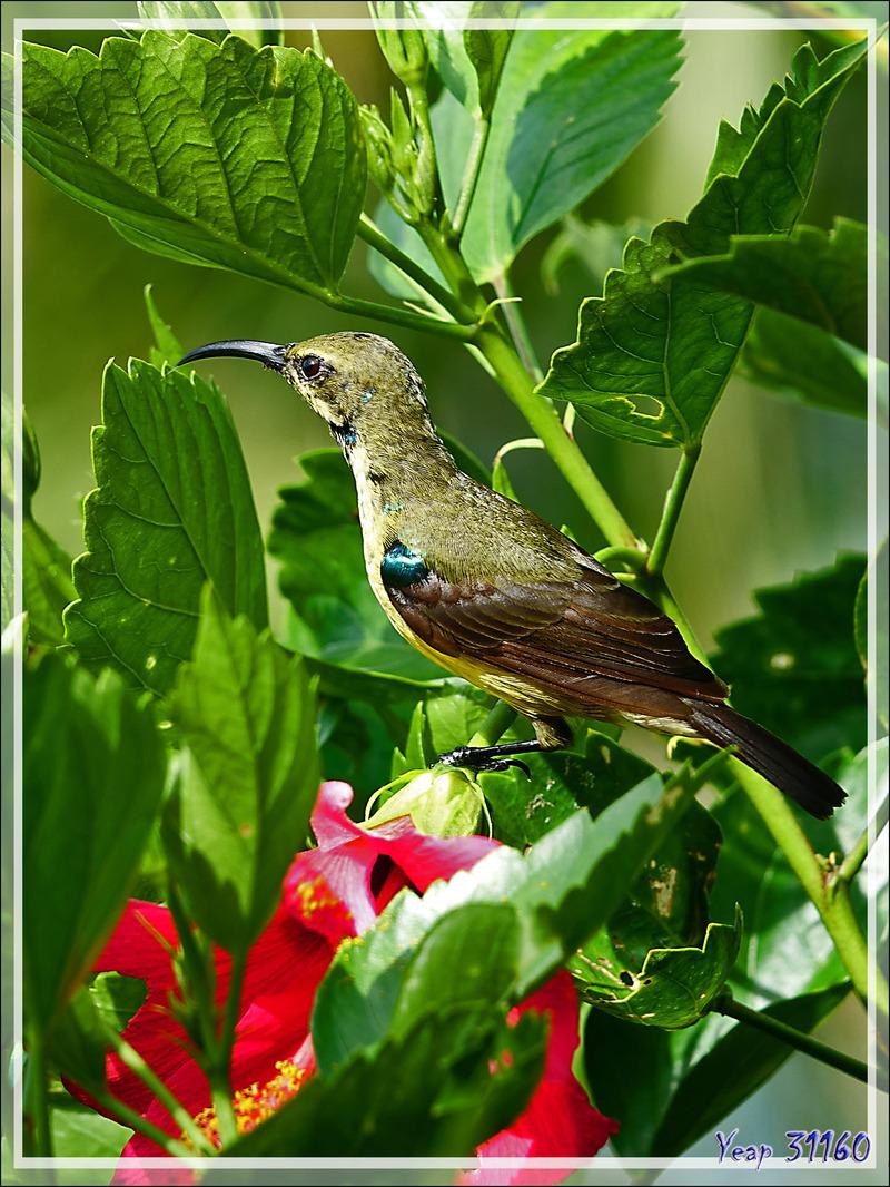 Souimanga malgache, Souimanga Sunbird (Cinnyris sovimanga) femelle - Nosy Be - Madagascar