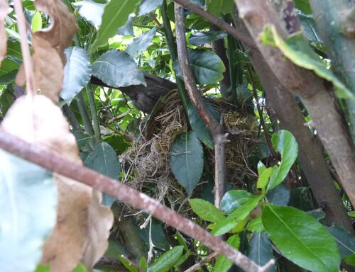 Petit merle tombé du nid.