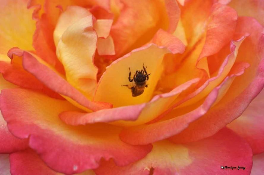 DSC1075-abeille au coeur
