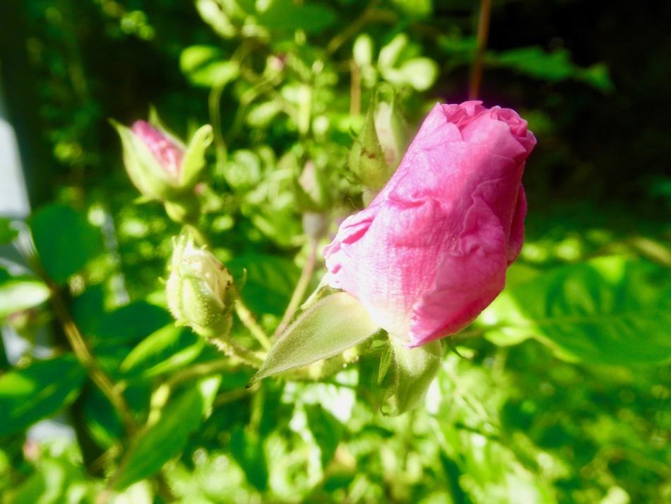 Toujours des fleurs du jardin!