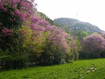 Les pelouses bordées d'arbres de Judée