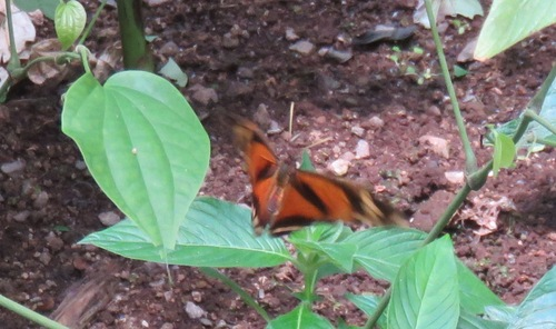 Papillons du Costa Rica