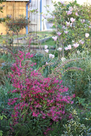 loropetalum Blush