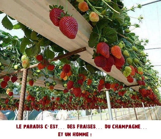 fraises champagne homme