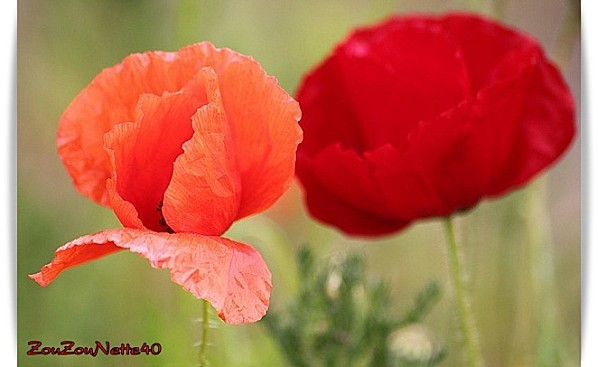 COQUELICOT-N--4-.jpg