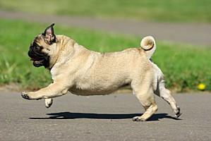 race-chien-carlin.jpg