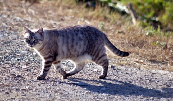 Chat Limoux 6006